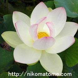 蓮の花言葉の意味!明るい意味も暗い意味もまとめてご紹介!