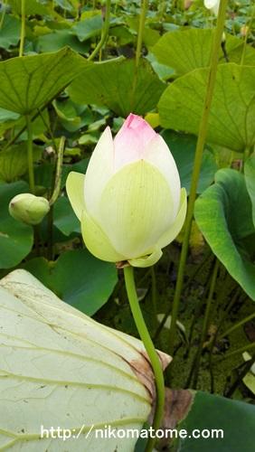 花が開くまえの蓮