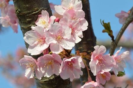北海道の桜の見ごろは?ここでしか見られない種類もチェック!