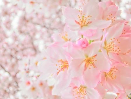 桜の花言葉の意味!日本・西洋まとめてご紹介!