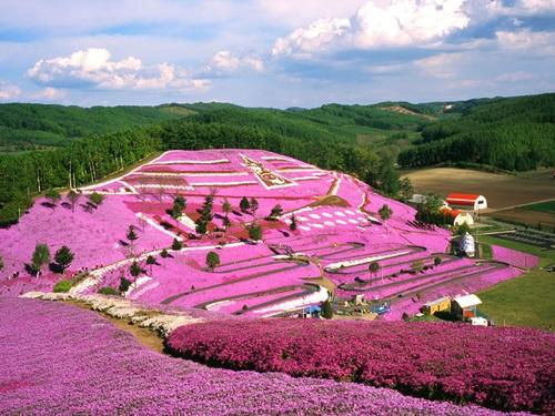 東藻琴の芝桜の見ごろ!お祭り期間はどの年代でも楽しめる!!